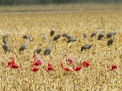 Sandhill Cranes Share a Cornfield with Plastic Pink Flamingos-Joel Sartore-Photographic Print