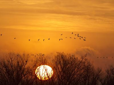 Sandhill Cranes Silhouetted Aginst Rising Sun, Leaving Platte River, Near Kearney, Nebraska, USA-Chuck Haney-Photographic Print