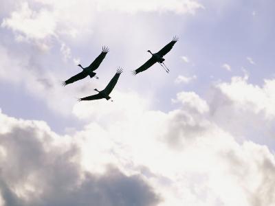Sandhill Cranes Soar against a Cloudy Sky-Stephen Alvarez-Photographic Print