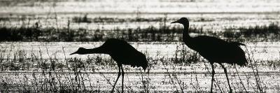 Sandhill Cranes Wading in a Marsh, Grus Canadensis, North America-Arthur Morris-Photographic Print