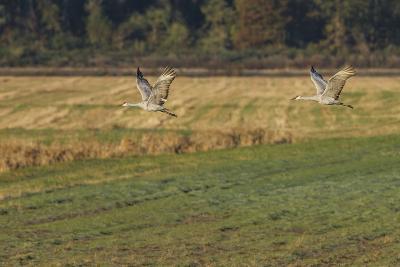 Sandhills Take Flight-Galloimages Online-Photographic Print