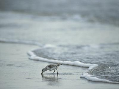 Sandpiper Foraging in the Surf-Joel Sartore-Photographic Print