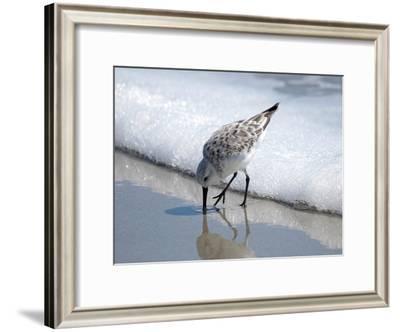 Sandpiper I-Bruce Nawrocke-Framed Photographic Print