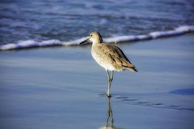 Sandpiper in the Surf I-Alan Hausenflock-Photographic Print
