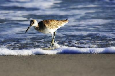 Sandpiper in the Surf III-Alan Hausenflock-Photographic Print