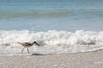 Sandpiper Shore Bird Walking in Ocean on Beach-Christin Lola-Photographic Print