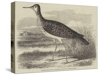Sandpiper (Totanus Bartramius), Shot in Cambridgeshire