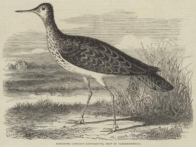 Sandpiper (Totanus Bartramius), Shot in Cambridgeshire--Giclee Print