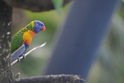 Coloured parrot, Gebirgs-Allfarblori, Trichoglossus haematodus moluccanus, twig, sit,