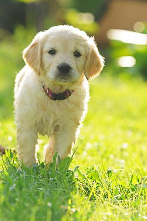 Golden retriever dog puppy in the garden, close-up
