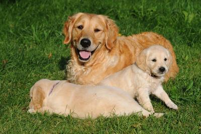 Golden retriever with dog puppies in the garden