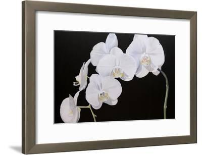 Dramatic Orchids I