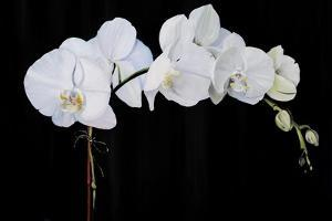 Dramatic Orchids II by Sandra Iafrate