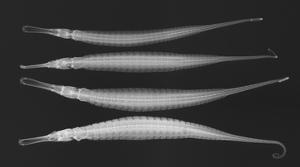 Alligator Pipefish by Sandra J. Raredon