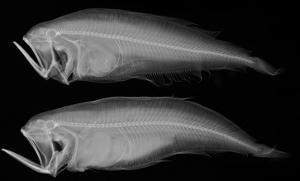 Bothid Flatfish by Sandra J^ Raredon