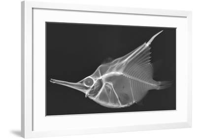 Orange Bellowfish