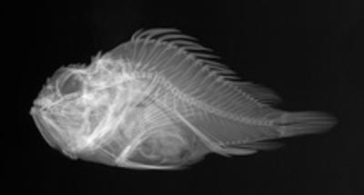 Shortsnout Scorpionfish