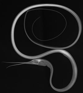 Slender Snipe Eel by Sandra J^ Raredon