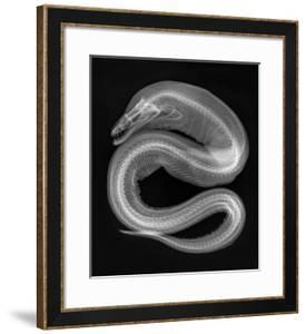 Viper Moray by Sandra J^ Raredon