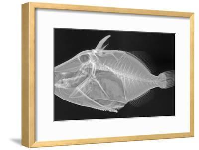 Wedge-Tail Triggerfish