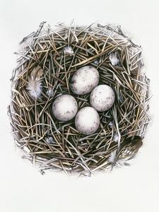 Accipiter Gentilis (Goshawk), 2000 by Sandra Lawrence