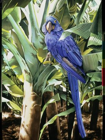 Hyacinth Macaw, 1992 by Sandra Lawrence