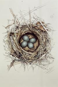 Turdus Merula (Blackbird), 1999 by Sandra Lawrence
