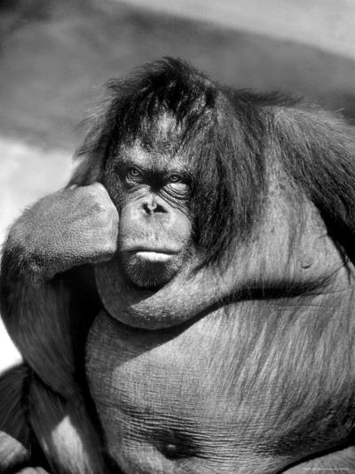 Sandra the Orangutan with Cheek Resting on Hand and Thoughtful Expression, at the Bronx Zoo-Nina Leen-Photographic Print