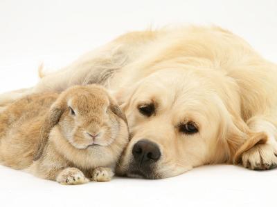 Sandy Lop Rabbit Resting with Golden Retriever Bitch-Jane Burton-Photographic Print