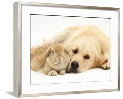 Sandy Lop Rabbit Resting with Golden Retriever Bitch-Jane Burton-Framed Photographic Print