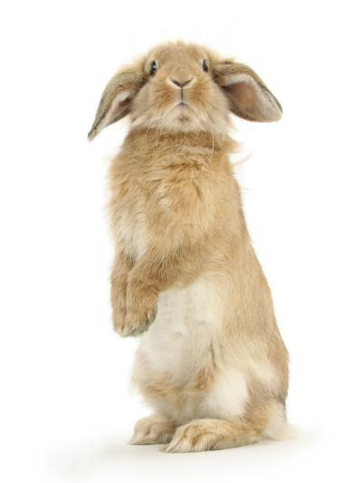 Sandy Lop Rabbit Sitting Up on its Haunches-Mark Taylor-Photographic Print