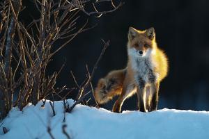 Red Fox by Sanin Alexandr