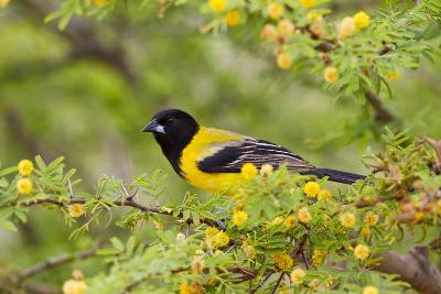 Santa Clara Ranch, Starr County, Texas. Audubons Oriole Perched-Larry Ditto-Photographic Print