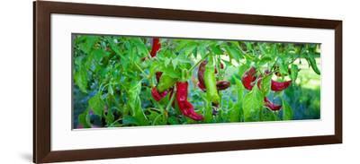 Santa Fe Grande Hot Peppers on Bush--Framed Photographic Print