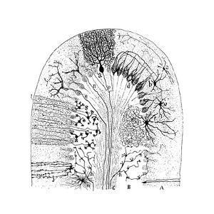Nerve Cells, 1894 by Santiago Ramon y Cajal