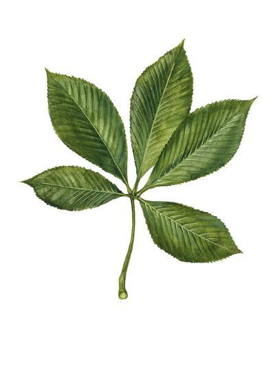 Sapindaceae Leaf of Yellow Buckeye Aesculus Flava--Giclee Print