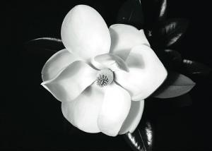 Magnolia by Sara Liu