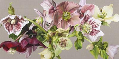 Hellebore Melody - Fawn