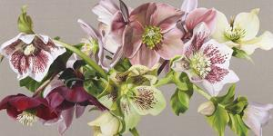 Hellebore Melody - Fawn by Sarah Caswell