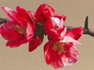 Japonica Blush by Sarah Caswell