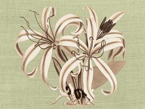 Regencé Lily I by Sarah Chilton