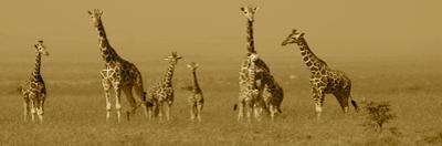 Giraffes by Sarah Farnsworth