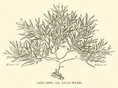 Sargasso, or Gulf-Weed--Giclee Print