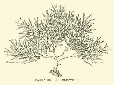 https://imgc.artprintimages.com/img/print/sargasso-or-gulf-weed_u-l-ppbgsp0.jpg?p=0