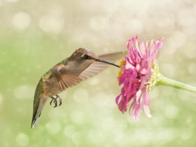 Dreamy Image Of A Ruby-Throated Hummingbird Feeding On A Pink Zinnia Flower