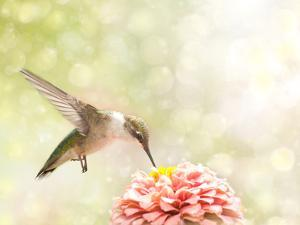 Dreamy Image Of A Ruby-Throated Hummingbird Feeding On A Pink Zinnia by Sari ONeal