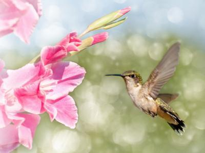 Dreamy Image Of A Ruby-Throated Hummingbird Hovering Next To A Pink Gladiolus Flower
