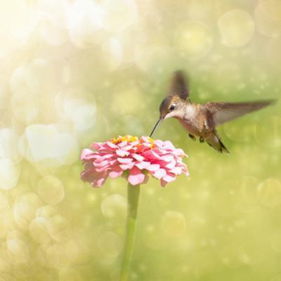 Dreamy Image Of A Tiny Female Hummingbird Feeding On A Pink Zinnia