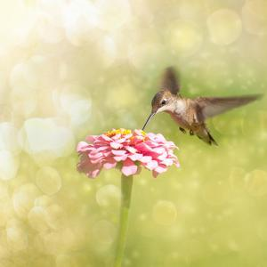 Dreamy Image Of A Tiny Female Hummingbird Feeding On A Pink Zinnia by Sari ONeal