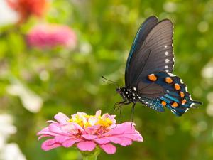 Green Swallowtail Butterfly Feeding On A Pink Zinnia In Sunny Summer Garden by Sari ONeal